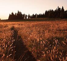Glowing grass on Hurricane Hill, Olympic National Park by DArthurBrown