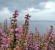 Heather in full bloom by jrhall19