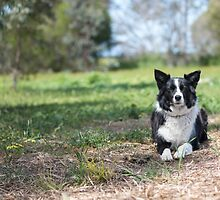 Alley... Beautiful Border Collie....  by mitpjenkeating