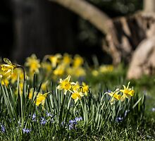 Pretty Daffodil Landscape by Pixie Copley LRPS