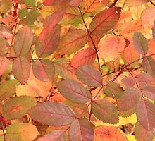 Wild Rose leaves in autumn by Jim Sauchyn