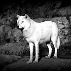 Arctic Wolf by Moonpebble