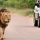 THE ULTIMATE EXPERIENCE IN KRUGER - THE LION - Panthera leo  by Magaret Meintjes