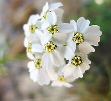 Pure White Petals by Abigail Carpenter