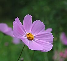 One Perfect Cosmos by Eileen McVey
