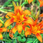 Ditch Lilies or Day Lilies by James Brotherton