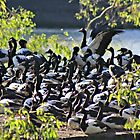 A Gaggle of Magpie Geese by myraj