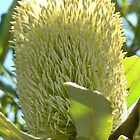 Banksia Integrifolia by Margaret  Hyde