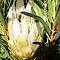 """""""Proteas of Africa"""""""