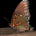 Red-spotted Purple by Otto Danby II