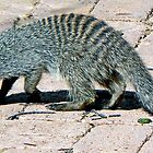 Banded Mongoose by Graeme  Hyde