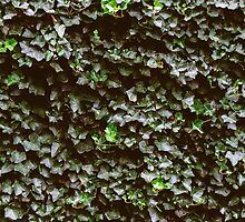 Ivy Wall by Amber Redfield