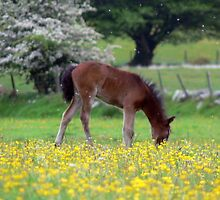 Cute Pony in Field of Flowers by ChameleonImages