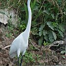 Great White Egret by barnsis