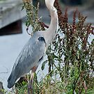 Great Blue Heron  by barnsis