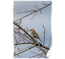 Yellow-rumped Flycatcher Poster