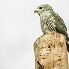 Lizard Buzzard (Hawk) by Tim Cowley