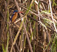 Malachite Kingfisher by Tim Cowley