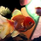 freshwater Gold fish by sebmcnulty