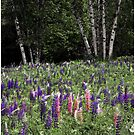 Dance of Lupine and Birch by Wayne King