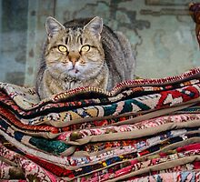 Istanbul Cat by SuzannemorriS