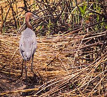 Purple Heron in Grass by Tim Cowley