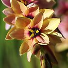 Wonderful Ixia by Joy Watson