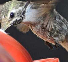 FEMALE ANNA'S HUMMINGBIRD SIPPING NECTAR Sticker