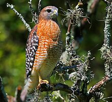 Red Shouldered Hawk by jozi1