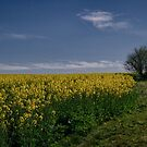 Golden Canola Fields by yolanda