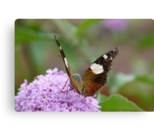 Yellow Admiral 2 Canvas Print