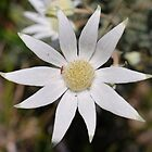 Flannel Flower and Mini Spider by Penny Smith