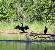Cormorants On the Rainbow River In the Late Sun by AuntDot