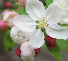 White blossom and pink buds - 2011 by Gwenn Seemel