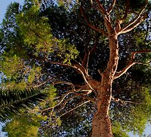 Pollensa Pine Tree by Wrayzo