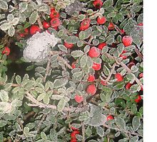 Frosty Berries by NellySells