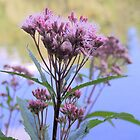 Spotted Joe Pye Weed by Max Buchheit