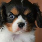 A pup I called Ruffus by Clare Colins