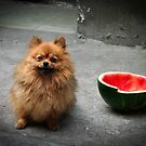 Street Dogs of Asia Series - Shanghai - Pomeranian by designedbyn