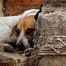 Street Dogs of Asia Series - Ayutthaya Thailand - Mixed Breed by designedbyn