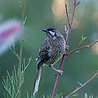 Red Wattle Bird 4 by mncphotography