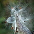Autumn Milkweed by Lynn Gedeon