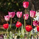 Glorious Tulips by jayneeldred