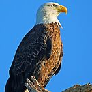 A Regal Eagle!! by jozi1