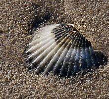 Scallop Shell 2 by Susie Peek