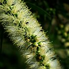 Bottle Brush Flower, with a few friends by Mark Batten-O'Donohoe