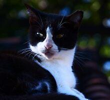cat III - gato by Bernhard Matejka