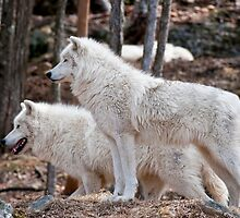 Arctic Wolves by WolvesOnly