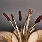 Lily flower stamens by Avril Harris