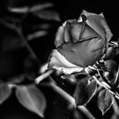 Night Rose by Candice84